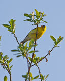 American Goldfinch Royalty Free Stock Photo