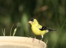 American Goldfinch. A bright yellow American Goldfinch stands on the edge of a birdbath against a soft green background Stock Images