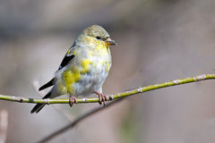 Free American Goldfinch Royalty Free Stock Photography - 30230917