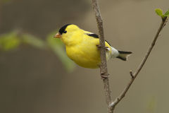 Free American Goldfinch Royalty Free Stock Images - 31256729