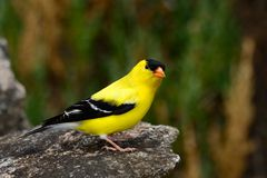 Free American Goldfinch Royalty Free Stock Photo - 31511605