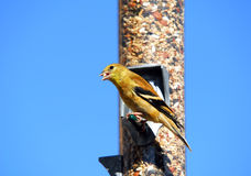 American Goldfinch. A picture of an American Goldfinch eating Royalty Free Stock Photography