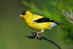 Free American Goldfinch Stock Image - 32939411