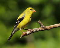 Free American Goldfinch Royalty Free Stock Photo - 42517595