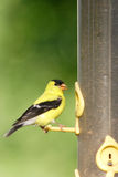 American goldfinch. A pretty american goldfinch on a feeder Royalty Free Stock Photography