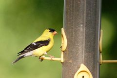 An American goldfinch. Sits on a bird feeder Royalty Free Stock Photos