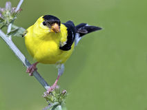 Free American Goldfinch Royalty Free Stock Images - 59534529