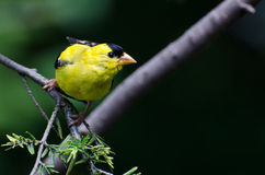 American Goldfinch Against a Green Background Stock Images