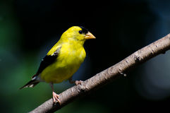 American Goldfinch Against a Green Background Royalty Free Stock Photo