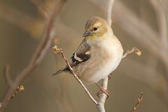 American Goldfinch in Autumn Plumage Royalty Free Stock Image