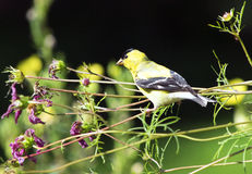 Yellow American Goldfinch Bird. American Goldfinch (Spinus tristis) perching on stems of Cosmos  to get seeds of flower Royalty Free Stock Photography