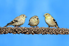 American Goldfinch (Carduelis tristis) Royalty Free Stock Images
