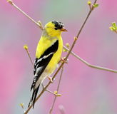 American Goldfinch (Carduelis tristis) Stock Images