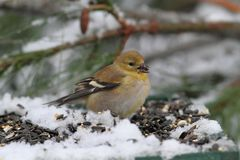 American Goldfinch (Carduelis tristis) Stock Photography