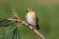 American Goldfinch (Carduelis tristis) Stock Photo