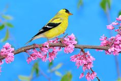 American Goldfinch (Carduelis tristis) Stock Photos
