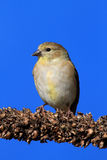 American Goldfinch (Carduelis tristis) on blue Royalty Free Stock Image