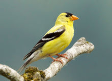 American Goldfinch - Carduelis tristis Stock Photography