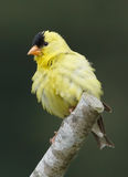 American Goldfinch - Carduelis tristis Stock Image