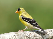American Goldfinch - Carduelis tristis Royalty Free Stock Images