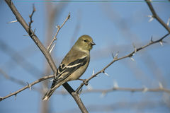 American goldfinch, Carduelis tristis Royalty Free Stock Photo