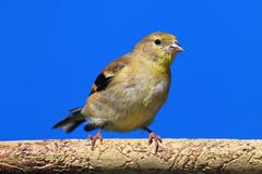 American Goldfinch (Carduelis tristis) on a perch Royalty Free Stock Photography