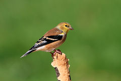 American Goldfinch (Carduelis tristis) on a perch Stock Photography