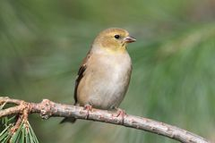 American Goldfinch (Carduelis tristis) Royalty Free Stock Photos