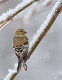 American Goldfinch, Carduelis tristis Royalty Free Stock Photography