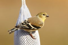 American Goldfinch (Carduelis tristis) Royalty Free Stock Image