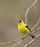 American Goldfinch, Carduelis tristis Royalty Free Stock Images