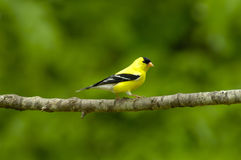 American Goldfinch Carduelis tristus Male. An American Goldfinch male displays his handsome breeding plumage on a cherry tree limb in Tennessee, USA Stock Photography