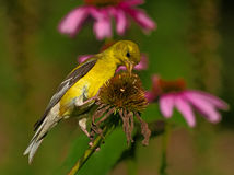 American Goldfinch on dried coneflower. Male American Goldfinch bird eating dried purple coneflower stock image