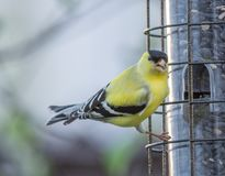 American Goldfinch Eating Black Sunflower Seeds stock photography