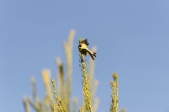 American Goldfinch eye contact Royalty Free Stock Images