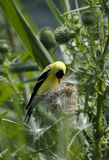 American goldfinch feeding on thistle. An american goldfinch feeding on a thistle Stock Photography