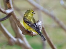 American Goldfinch female Carduelis tristis. Beautiful female goldfinch perched on a tree branch Royalty Free Stock Photography