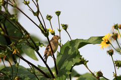 American Goldfinch female Royalty Free Stock Images
