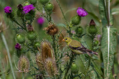 American Goldfinch. Female American Goldfinch feeding on a thistle Stock Photos