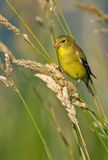 American Goldfinch (Female Summer Plumage). A Female American Goldfinch (Carduelis tristis) in summer plumage feeding in habitat royalty free stock image