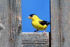 American Goldfinch on a Fence Stock Photography