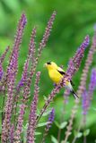 American Goldfinch in Flowering Woodland Sage. A male American Goldfinch finds a meal among some colourful purple woodland sage in a garden in Scarborough royalty free stock image