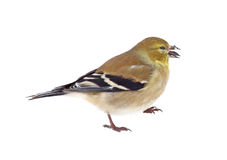 American Goldfinch Isolated Stock Photo