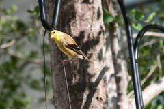 American Goldfinch Looking At Camera Stock Photos