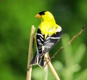 American Goldfinch. Male American Goldfinch perched on a wheat stem showing his profile with green field in the background Stock Photos