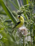 American goldfinch. An male bright yellow and black american goldfinch standing on a thistle stem and feeding on its seeds Royalty Free Stock Image