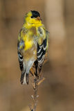 American Goldfinch Royalty Free Stock Image
