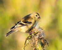 American Goldfinch - Male Non-Breeding Stock Images