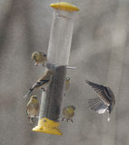 American Goldfinch in Mid-Flight Stock Photo