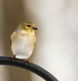 American Goldfinch Stock Photos
